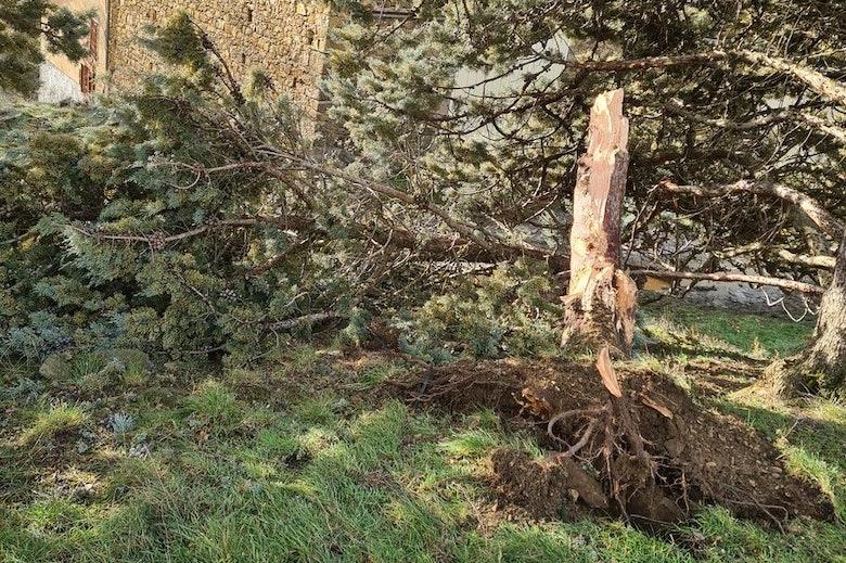 Ogier tree